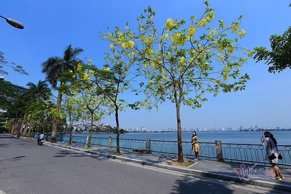 Golden shower trees paint Hanoi's West Lake yellow
