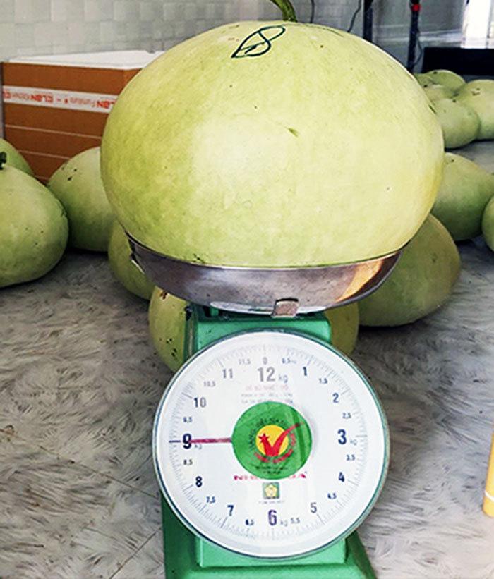 Quả  bầu khổng lồ ở Khánh Hoà, phơi khô bán giá tiền triệu