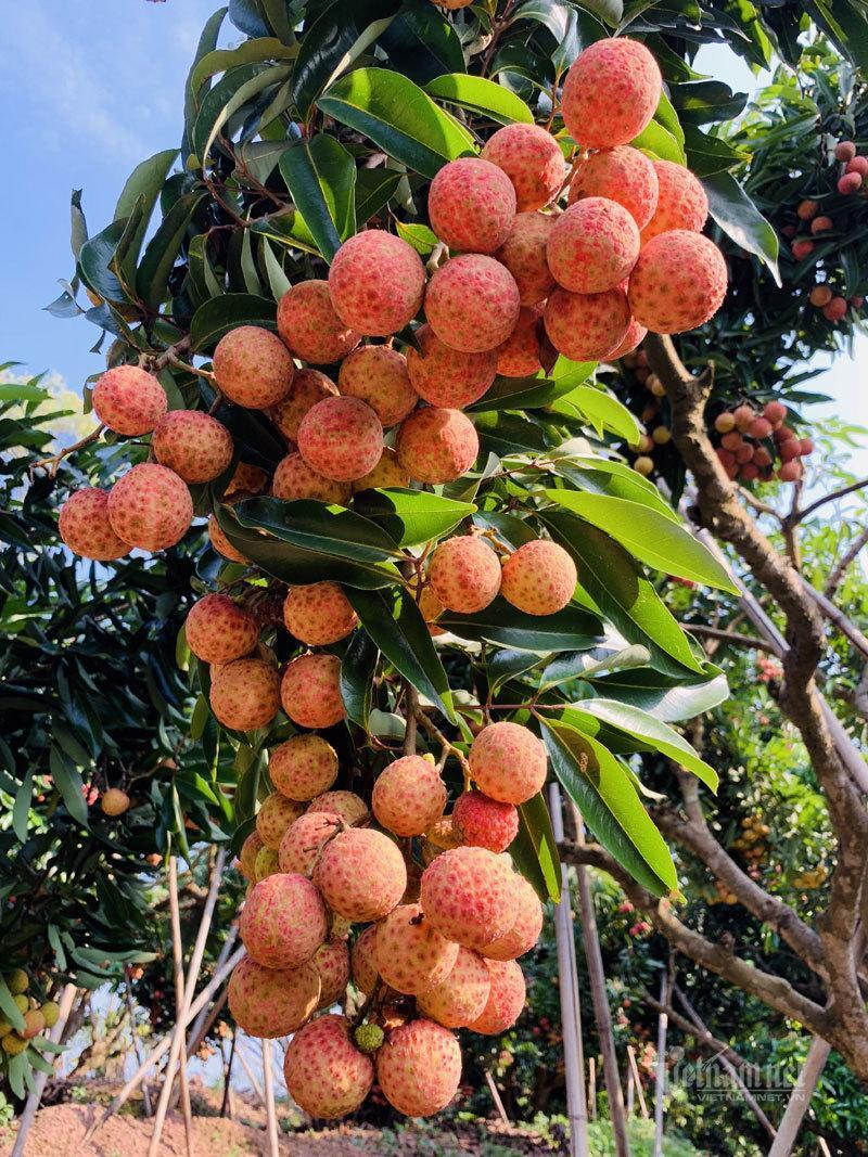 San Diu ethnic farmer grows the most expensive litchis in Vietnam
