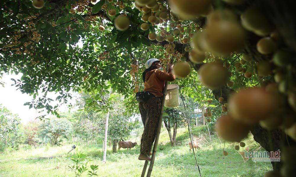 Cây cổ thụ nghìn quả đỏ hồng từ gốc tới ngọn: Đại gia xin mua, cụ chủ lắc đầu