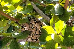 Dạo mát ở sân trường, cô giáo tá hỏa phát hiện trăn gấm dài 4m trên cây bàng