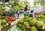 Mít Thái rớt giá thảm, dân trắng tay: Nỗi niềm muôn thuở