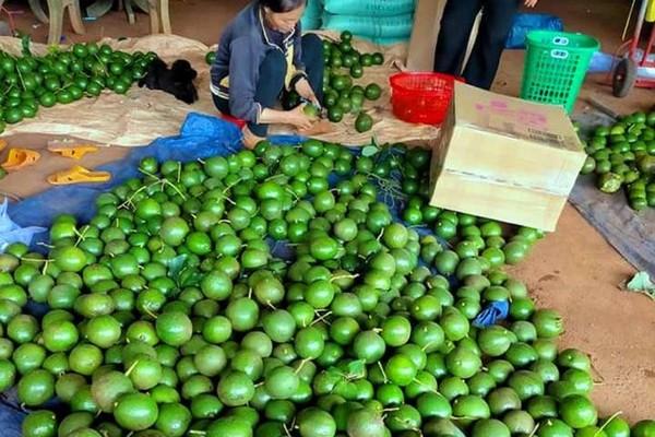 Đặc sản Tây Nguyên: Bơ giảm giá không phanh, bí đỏ phải chào bán cho gia súc