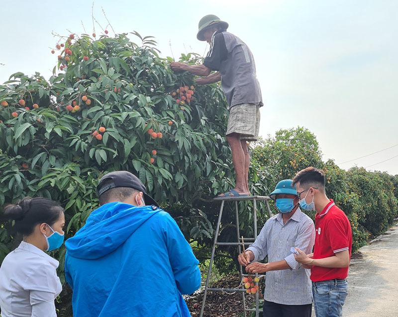 Trên đồi Bắc Giang, livestream tại vườn, chọn mua từng quả vải trên cây