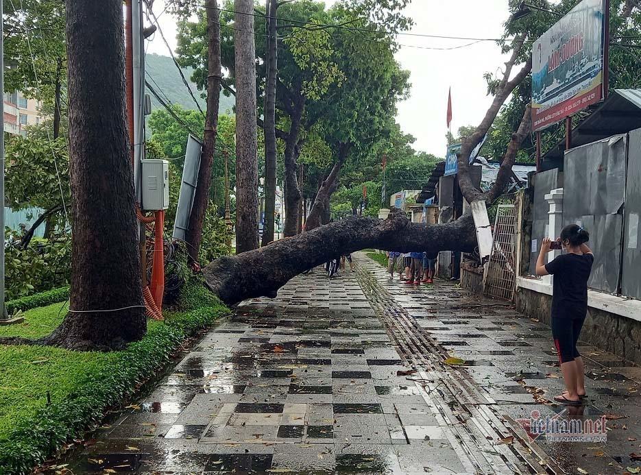 Cây xà cừ cổ thụ bật gốc sau mưa lớn, đè sập cổng chợ ở Vũng Tàu