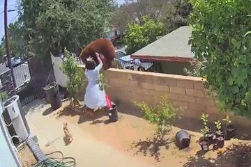 Cô gái cực nhanh xô ngã gấu hoang đang trèo tường đột nhập vào nhà
