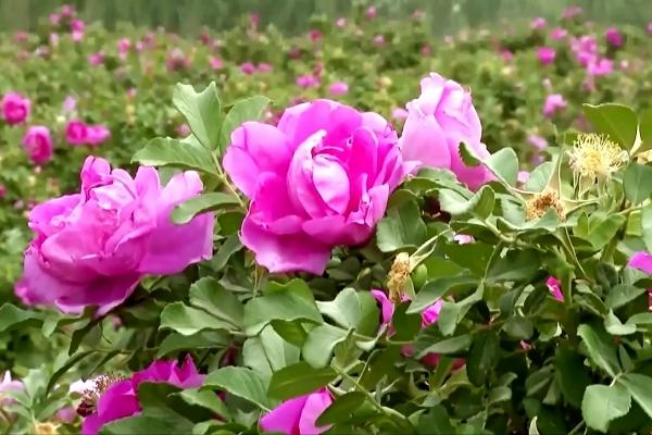 Cánh đồng hoa hồng, dâu tây chín mọng… giữa sa mạc cằn cỗi