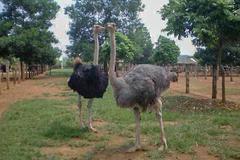 Bán nhà phố về quê nuôi chim khổng lồ, sau 2 năm anh kỹ sư có tiền tỷ