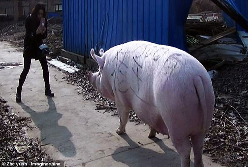 'Siêu to khổng lồ' đáng sợ: Trung Quốc nhân giống lợn như gấu Bắc cực