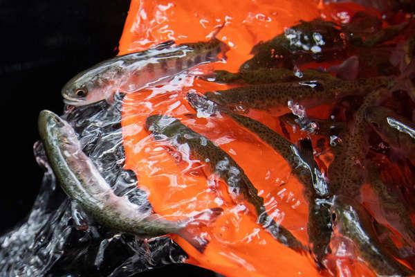 'Phóng sinh' gần 17 triệu con cá hồi để kích thích kinh tế
