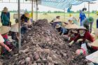 'Tắc đường' sang Trung Quốc, khoai chất đống, mít dội chợ, dân trắng tay