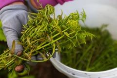 Loại rau rừng 'ngon - bổ - rẻ' ở miền Tây được mệnh danh là 'thần dược'