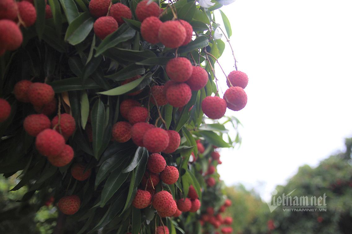 Vải Lục Ngạn chín đỏ cây, người dân dựng lá chắn vùng không Covid-19