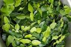 Loại lá cho không ai lấy ở Việt Nam, sang nước ngoài giá đắt vô cùng, lên đến 6 triệu đồng/kg