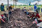 'Tắc đường' sang Trung Quốc, khoai chất đống, mít ế đầy, dân trắng tay