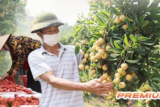 Chiến dịch vải thiều và chuyện xoài Sơn La: Chặng đường không 'giải cứu'