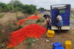 Mất giá, hàng tấn cà chua ở Ấn Độ bị đổ bỏ vệ đường