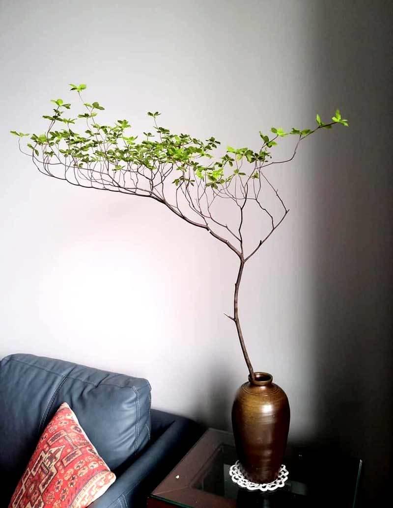 Hà thành mùa lạ, tranh nhau mua cành cây khẳng khiu, toàn lá giá tiền triệu