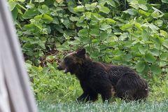 Gấu nâu đại náo đường phố, đột nhập căn cứ quân sự Nhật Bản