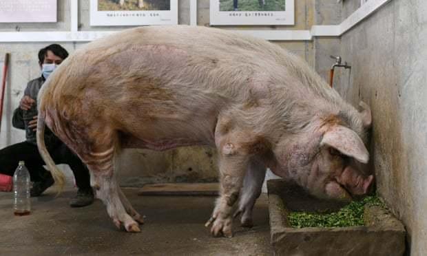 Ngày cuối của chú lợn từng sống sót sau 36 ngày bị động đất vùi lấp