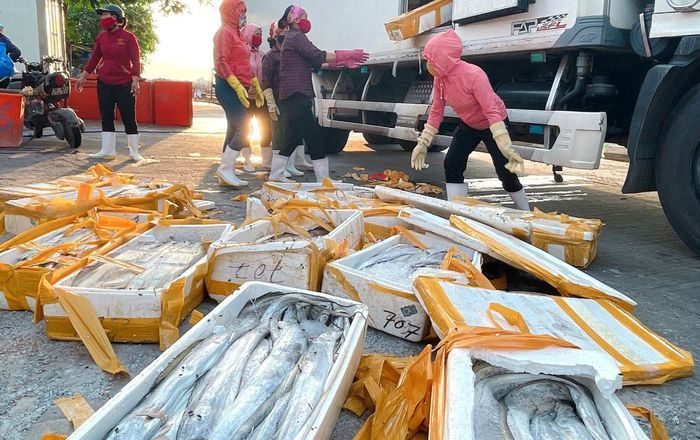 Giá còn 5.000 đồng/kg, cá hố làm thức ăn chăn nuôi