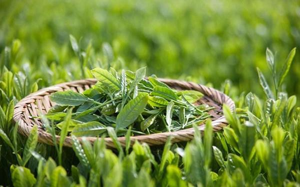 Danh trà - thưởng thức trà xanh Thái Nguyên chất lượng cao