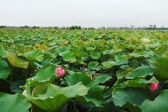 Hanoi farmer raises record 1 million lotus flowers