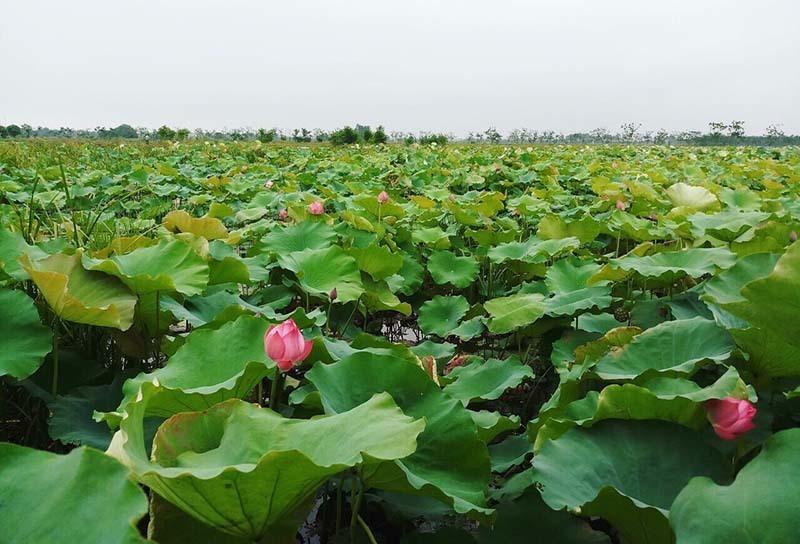 lotus season,Hanoi streets,floriculture