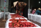 Lychee 'campaign' results in big sales, Son La mango harvest also a success