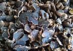 Ngải  tím: Loại củ rừng siêu đắt, đặt trước vài tháng mới có