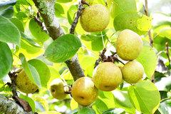Ripe pear season in Si Ma Cai