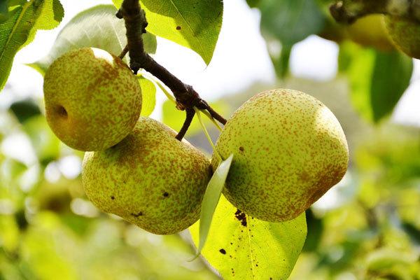 Lao Cai,Si Ma Cai District,VH6 pear,Ta Van plum