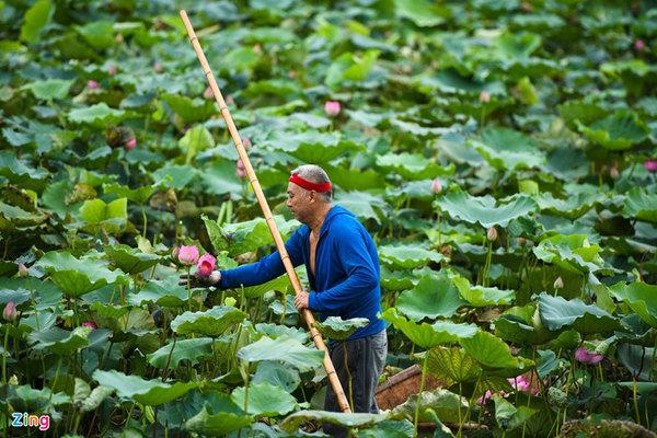 Chủ đầm sen hồ Tây bán hàng nghìn bông mỗi ngày