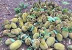 Sầu riêng rụng xanh gốc, nông dân tái mặt vì thất thu