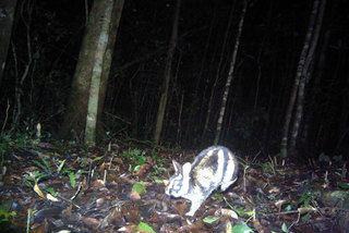 Rare striped rabbits discovered in Central Highlands
