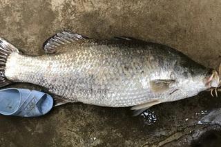 Câu được con cá chẽm dài 1m, nặng 14kg, hàng hiếm gây xôn xao
