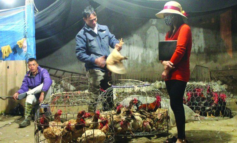 Quảng Ninh: 200 con gà chết, dương tính với virus cúm gia cầm A/H5N8