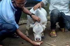 Hàng nghìn người Bangladesh đổ xô đi xem bò tí hon
