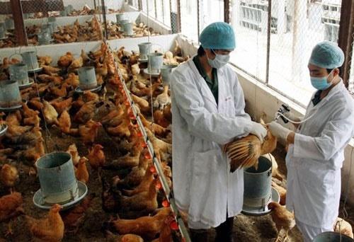 Lạng Sơn cấp bách triển khai các biện pháp ngăn chặn cúm gia cầm A/H5N8