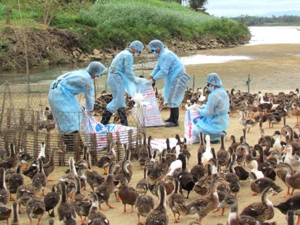 Lào Cai chủ động triển khai các giải pháp chặn dịch cúm gia cầm H5N8