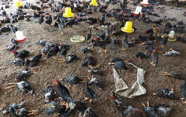 Hơn 5.000 con gia cầm nhiễm cúm H5N8 ở Hòa Bình bị tiêu hủy