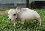 Chú bò tí hon nhất thế giới, chỉ cao... 51cm