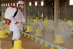 Phòng chống dịch cúm gia cầm, Hà Nam tích cực phun thuốc khử trùng chuồng trại