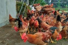 Thanh Hóa khuyến khích hộ chăn nuôi gia cầm chuyển sang chăn nuôi an toàn sinh học