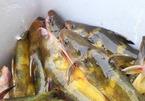 Của hiếm sông Đà: Loài cá vàng óng, muốn ăn phải đặt trước nửa năm