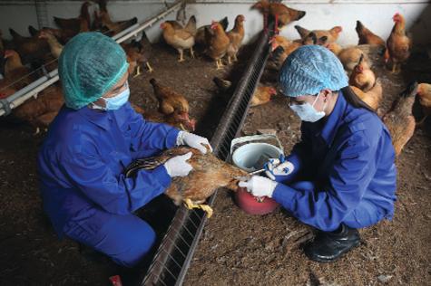 Bắc Ninh khẩn trương tiêm phòng cho đàn gia cầm trước diễn biến mới của cúm A/H5N8