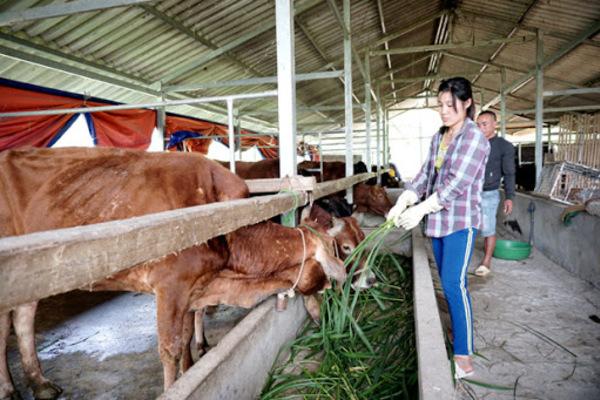 Xử lý triệt để dịch bệnh trên vật nuôi: Cần sự chủ động của chính người chăn nuôi