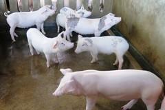 Các trang trại chăn nuôi không bị dịch bệnh nhờ phòng, chống xâm nhiễm nghiêm ngặt
