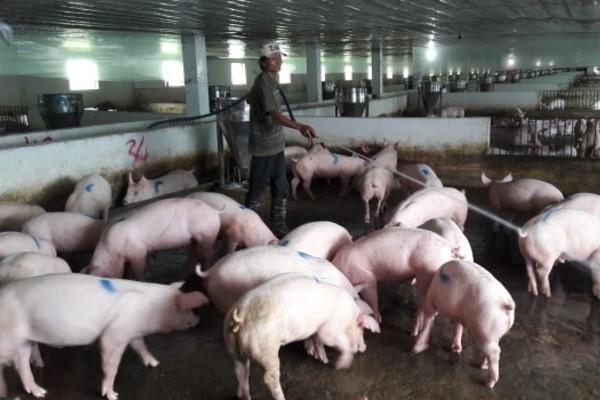 Hiệu quả chăn nuôi lợn theo tiêu chuẩn VietGAP ở Sơn Dương