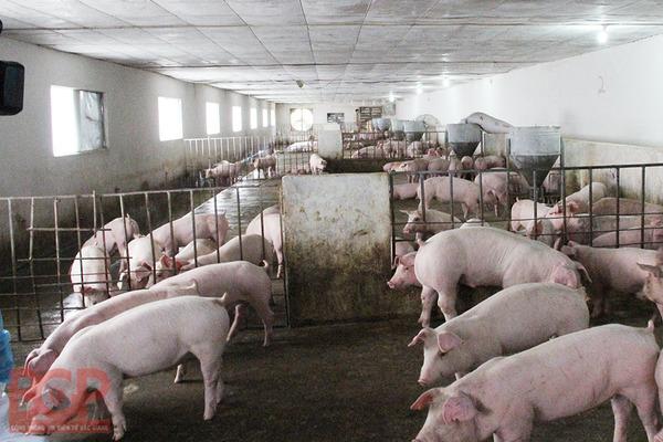 Sau dịch lở mồm long móng, cần thực hiện các kỹ thuật chăn nuôi an toàn sinh học học để sớm tái đàn